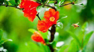 石榴花的四季养护方法