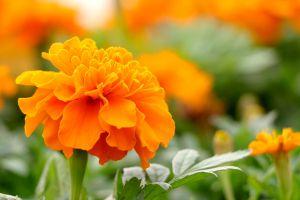 金盏菊的养殖方法和注意事项