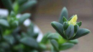 鹿角海棠什么时候开花