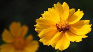 金盏菊的播种方法