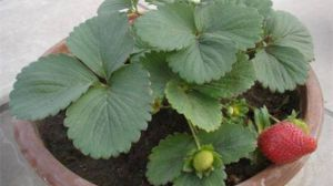 盆栽草莓怎么养