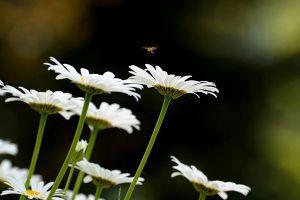白晶菊养殖方法和注意事项