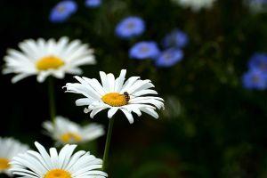 白晶菊有什么作用