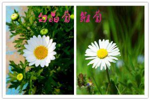 怎么区分白晶菊和雏菊