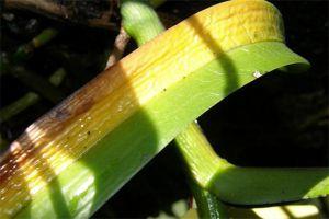 斑舌兰的常见病虫害及防治方法
