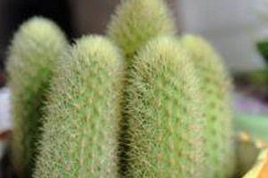 金手指的种植搭配