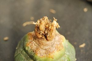 星球病虫害及防治方法