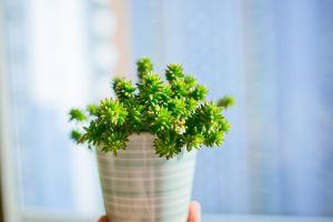 白花小松的叶插方法