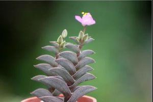 重扇会开花吗