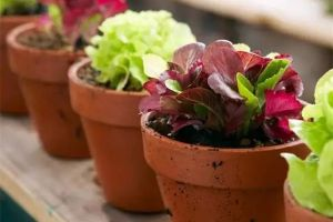 盆栽种菜常见10大问题,一次性为你解决
