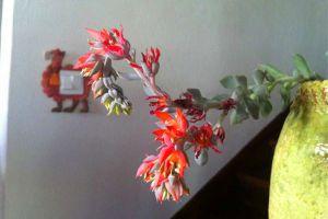 特玉莲会开花吗