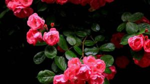 蔷薇花怎么扦插