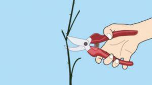 蔷薇花的修剪方法