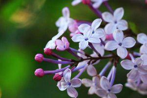 盆栽丁香的养殖方法和注意事项