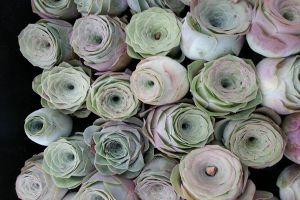 山地玫瑰开花会死吗