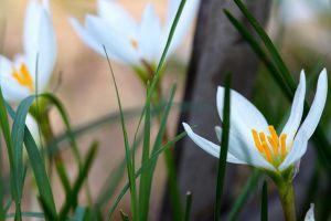 葱兰什么时候开花