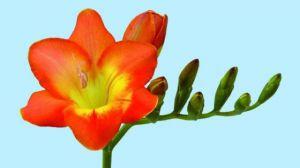 凤仙花需要每天浇水吗