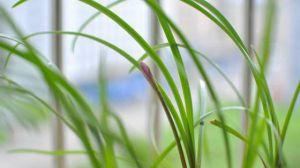葱兰的播种方法