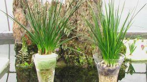 葱兰的水培方法