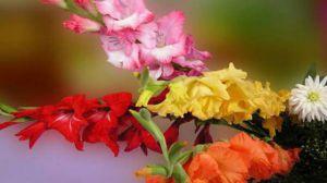怎么让唐菖蒲四季开花