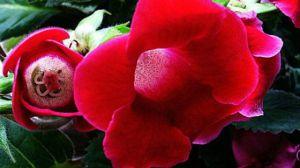 大岩桐花的养殖方法