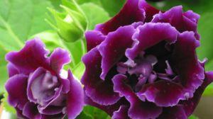 大岩桐的四季养护方法