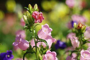 风铃草的花语及传说