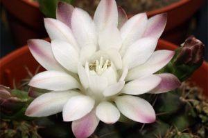 绯牡丹开花吗
