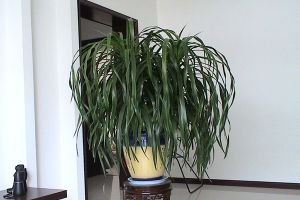 龙血树常见病害及防治方法