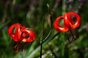 山丹丹花究竟是啥花?