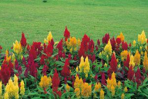 鸡冠花的常见品种