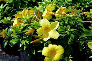 黄蝉的养殖方法和注意事项