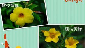 软枝黄蝉和硬枝黄蝉的区别