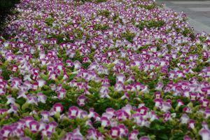 夏堇的养殖方法和注意事项