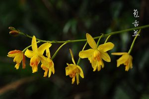 苞舌兰的病虫害及防治方法