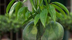 绿元宝的养殖方法和注意事项