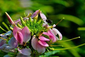 醉蝶花常见病害及防治方法