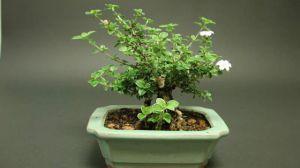 六月雪的盆栽与养护