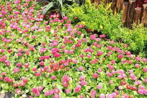 翠菊的价值
