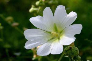 蜀葵的养殖方法和注意事项
