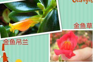 金鱼草和金鱼吊兰是一种植物吗