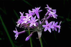 紫娇花的主要价值
