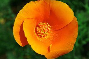 花菱草的养殖方法和注意事项