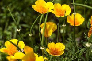花菱草的繁殖方法