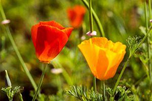花菱草的主要价值