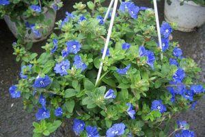 蓝星花的花语