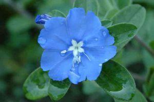 蓝星花什么时候开花