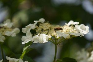 琼花的养殖方法和注意事项