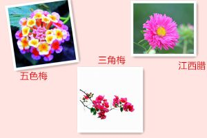 五色梅、江西腊、三角梅什么时候开花