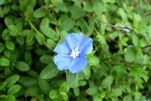 蓝星花的四季养护要点
